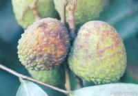 荔枝酸腐病、荔枝地衣病、荔枝茸毒蛾的症狀,以及防治方法