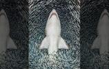 """鯊魚陷入""""魚龍捲風"""",看過之後那些海邊的龍捲風頓時感覺索然無味了"""