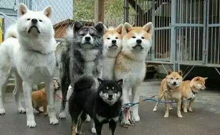 關於秋田犬和柴犬的區別,感覺柴犬被黑了