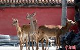故宮博物院的9只梅花鹿