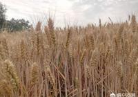 小麥收割,今年的新小麥價格如何?