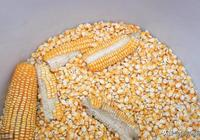 2019年6月13日河南玉米價格行情表