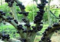嘉寶果怎麼種植?
