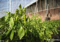 厲害!壽光種棚高手讓大棚辣椒增產40%一棵辣椒能結二十斤