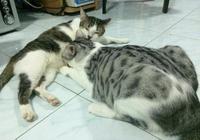 貓爸爭寵偷喝貓媽的奶,貓媽看著一臉懵:你給孩子留點