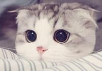 擁有著天使的面容,卻被病魔眷顧的貓咪——折耳貓