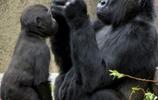 黑猩猩:捕捉搞笑瞬間,黑猩猩對鏡頭扮鬼臉