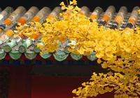 大覺寺的銀杏