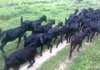 開始養羊需要注意什麼?送給想養羊或剛開始養羊的朋友