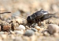 捉什麼樣的蟋蟀能賣錢?