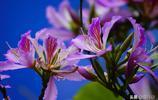 """一種叫""""洋紫荊""""的花公園裡競相綻放,其花有藥用價值,您可認識"""