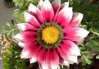 忘了綠蘿吊蘭吧,此花漂亮又好養,丟進花盆就能活,四季花開不斷