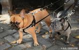 實拍美國紐約曼哈頓的狗狗,幫人遛狗在曼哈頓很掙錢一小時三十刀