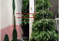 """仙人掌這個地方,切一刀插片葉子,2個月長成""""寶塔樹"""""""