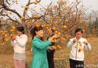 農村大叔家的柿子經過加工,賣價翻了8倍!吃過的人都讚不絕口!