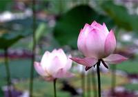 經典句子:心如蓮花,人生才會一路芬芳