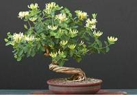 盆栽金銀花怎麼養