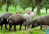 什麼是生態養豬?生態養豬的養殖方法