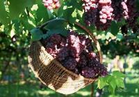 集安葡萄為何全國都出名?