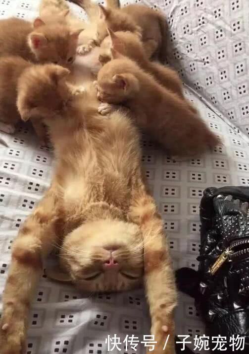 橘貓一胎產下6只貓崽,每次餵奶時表情都是這樣的,當媽真辛苦