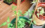 鐵線蓮土壤問題搞定了,三個月就能爬一個架子,而且勤花,爬藤快
