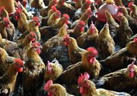 養雞雜談,不會養雞的進來