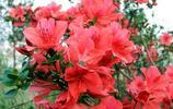 山野之花——映山紅
