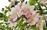 手機攝影:春之花西府海棠