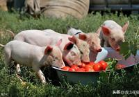 仔豬黃白痢發病原因及防治措施