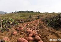 紅薯重茬能不能再栽紅薯?