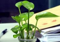 """養殖綠蘿就用""""綠葉水"""",不用施肥,葉片綠油油,枝條""""肥又長"""""""