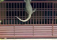 巨型蜥蜴入侵,被狗狗吠得掛門上,當地人:可以用它來煮咖喱