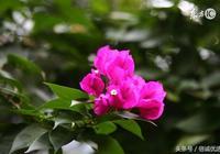 本草綱目養顏經之——葉子花