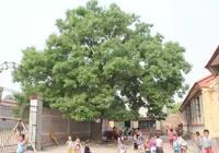 霸州康仙莊百年古槐樹的祕密