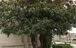 巴塞羅那街頭紅紅的桔子樹