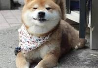 想養一隻柴犬,養柴犬費錢嗎?