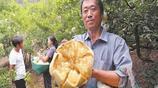 農民回家種了這種水果,一年收入十多萬,比出門打工掙的還多