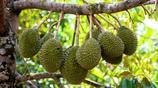 """榴蓮為什麼被譽為""""水果之王"""",這些有關榴蓮的知識你都知道嗎?"""