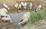 農民5旬大哥養羊30多隻,每天與狗為伴,一年收入2萬多元