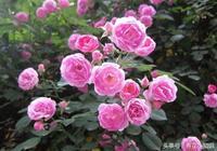 家居養花:月季只長葉子不開花?做好下面這3件事!