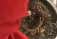2019年春天最後的蝦爬子你吃了嗎趕緊的吧再不吃就不肥了下臊子了