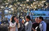 清明春遊好時節 上海寶山顧村公園迎來櫻花最佳觀賞期