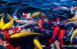 水中的錦鯉