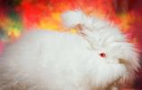 巨型安哥拉兔:飼養價值