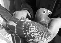 揭祕賽鴿江湖:有人花942萬買只賽鴿 喂賽鴿蟲草