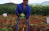 農村大爺種的稀罕作物,只要2塊多1斤,城裡人都不知道這叫啥東西