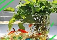 """綠蘿養不好,直接扔魚缸裡!3個好處,簡單成""""瀑布""""!"""