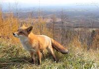 老翁救狐狸一命,與狐狸結為知己,狐狸投生為老翁兒子