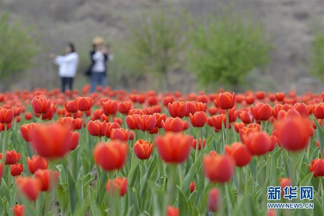 河北沙河紅石溝生態農場的鬱金香競相開放,吸引眾多遊客前來遊覽