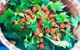 深山裡的網紅小野果!農民一年賣出一個億,看看他們做了啥